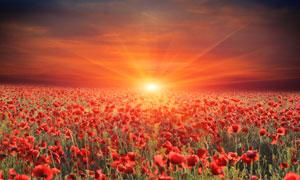 夕阳光芒下的红色花海摄影高清图片