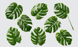墨绿色龟背竹叶子主题PSD分层素材