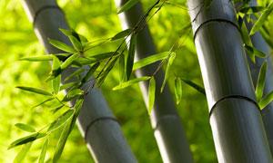 翠绿色的竹子近景特写摄影高清图片