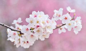 树枝上盛开的白色花朵摄影高清图片