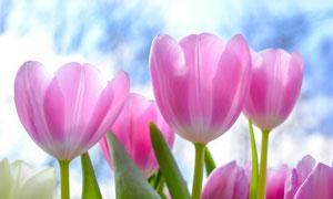 春天粉红色郁金香特写摄影高清图片