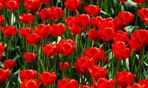 鲜红色郁金香花丛特写摄影高清图片