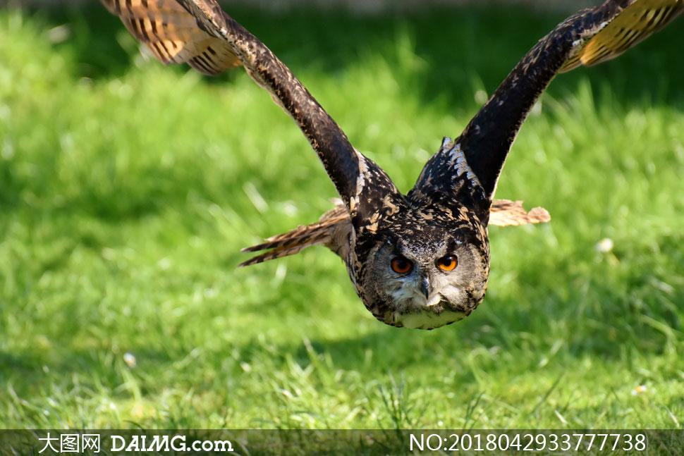 在超低空飞翔的猫头鹰摄影高清图片