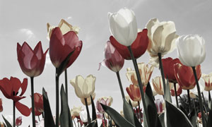 鲜艳郁金香花透光效果摄影高清图片