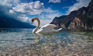 蓝天白云大山与湖上的天鹅高清图片