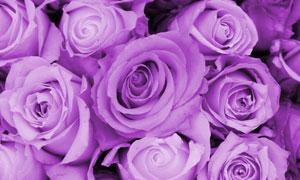 紫色的玫瑰花近景特写摄影高清图片
