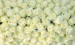 有序排列的玫瑰花特写摄影高清图片