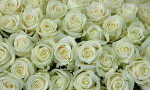 多只密集摆放在一起的玫瑰高清图片