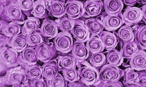 紫色的玫瑰花花朵特写摄影高清图片