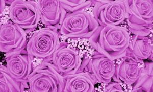 小花点缀的紫色玫瑰花摄影高清图片