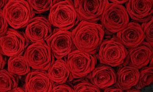 大红色的玫瑰花朵特写摄影高清图片