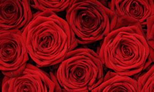 排列在一起的红玫瑰花摄影高清图片