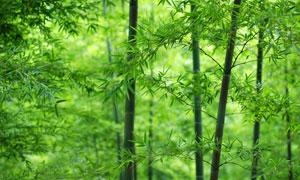 翠绿色的竹林自然风景摄影高清图片
