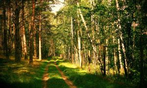 茂盛树林中的小路风光摄影高清图片