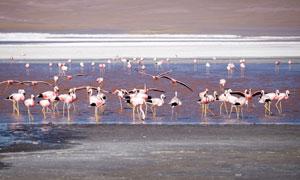 在栖息地聚集的火烈鸟摄影高清图片
