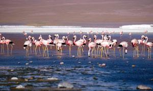 在水边休整的火烈鸟群摄影高清图片