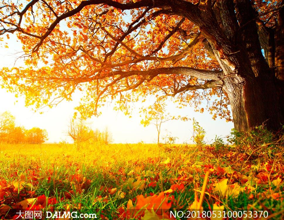 落叶枫叶金黄色草丛秋季美景自然景观自然风景摄影高清大图图片素材