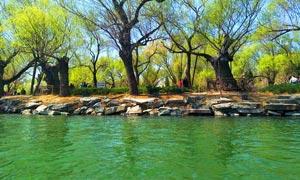 春季公园河边柳树摄影图片