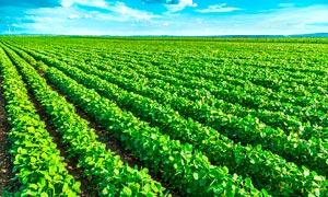 绿色的蔬菜种植园摄影图片