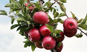 枝头结了满满的红苹果摄影高清图片