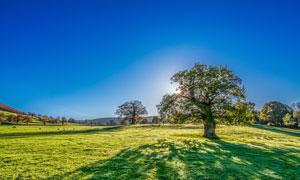 晴朗天空下的大树草地摄影高清图片