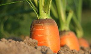 土里长势很好的胡萝卜摄影高清图片