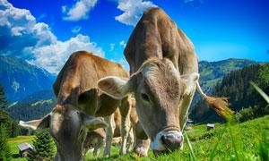 在山坡上吃着草的黄牛摄影高清图片