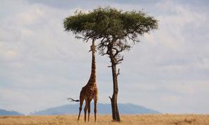 伸着长脖子吃树叶的长颈鹿高清图片