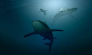 水底游动捕猎的鲨鱼群摄影高清图片