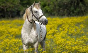 油菜花丛中的一匹白马摄影五百万彩票图片