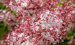 春天树枝上盛开的丁香花朵高清图片