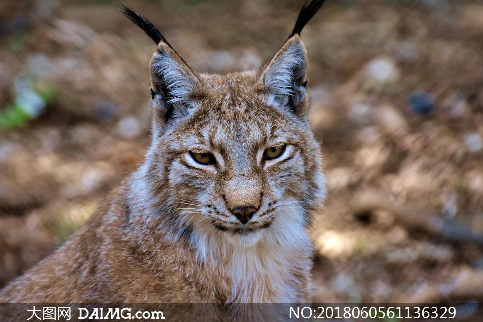 猫科动物猞猁近景特写摄影高清图片