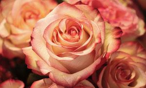 焦边效果的玫瑰花特写摄影高清图片