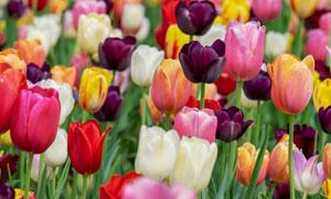 多种颜色的郁金香花卉植物高清图片