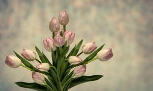 等待绽放的郁金香花朵摄影高清图片