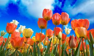 蓝天白云下的郁金香花摄影高清图片