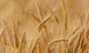 在农田里的小麦穗特写摄影高清图片