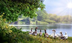 站在河边的一群鸭逆光摄影高清图片