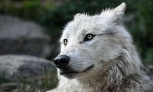 一头灰白毛发的狼特写摄影高清图片