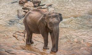 在岸上拴着铁链的大象摄影高清图片
