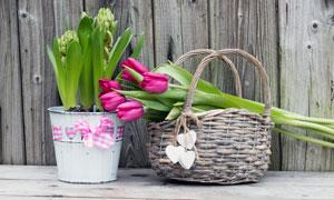 鲜艳郁金香与土培花卉摄影高清图片