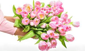 捧着手里的粉色郁金香摄影高清图片
