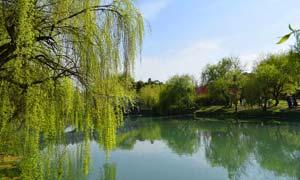 河边美丽的垂柳摄影图片