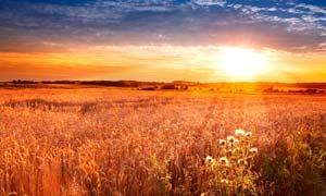 阳光下的金色麦田美景摄影图片