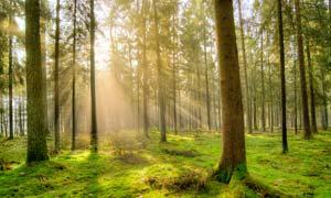 清晨阳光下的美丽的森林摄影图片