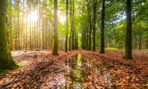 清晨森林中的树木和落叶摄影图片