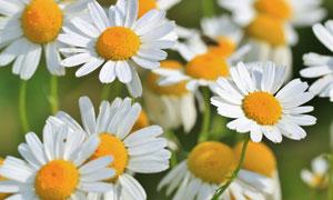 花期绽放的小雏菊特写摄影高清图片