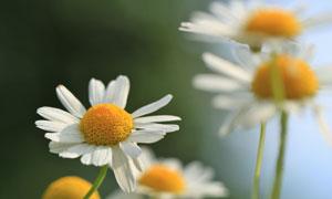 长势较好的小雏菊花卉特写高清图片