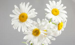 怒放中的白色菊花特写摄影高清图片