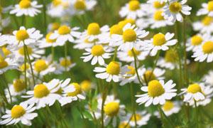 菊花花丛近景特写微距摄影高清图片